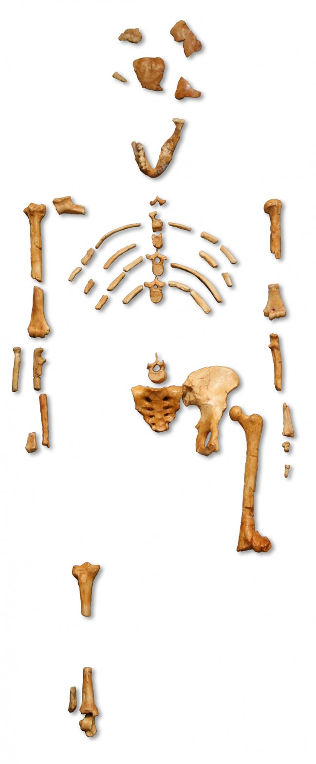 Reconstruction_of_the_fossil_skeleton_of_%22Lucy%22_the_Australopithecus_afarensis