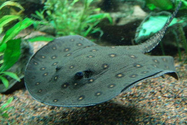 1024px-Ocellate_river_stingray,_Boston_Aquarium
